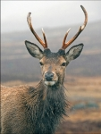Red Deer Stag in the rain - Glen Coe