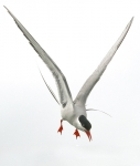 Arctic Tern diving