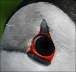 Puffin Eye Detail