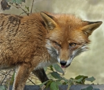 Red Fox - Vixen