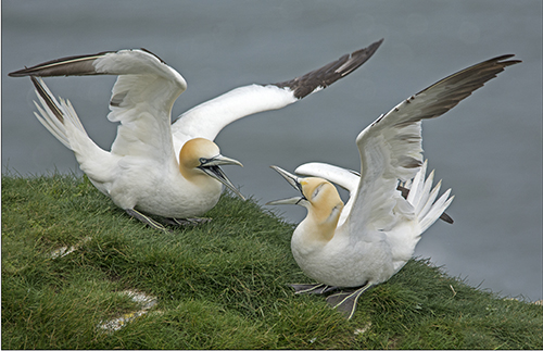 Gannets - Aggression.
