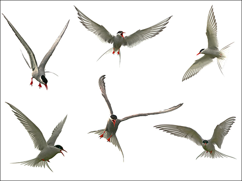 A Tussle of Terns.