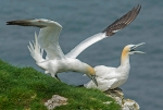 Two Gannets