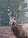 Red Deer Stag - Out in the rain
