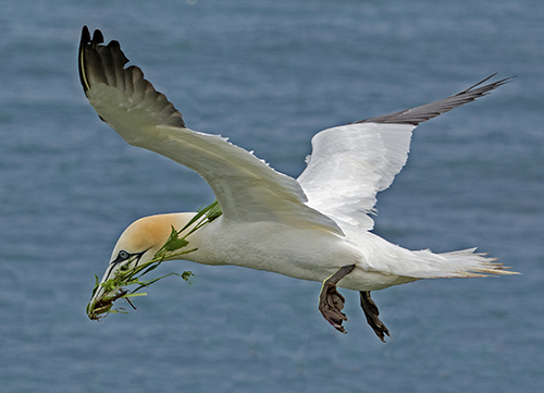 Gannet - With nesting material
