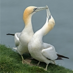 Gannets - Greeting