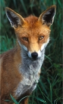 Young Rural Fox