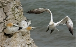 Gannets - The Visitor