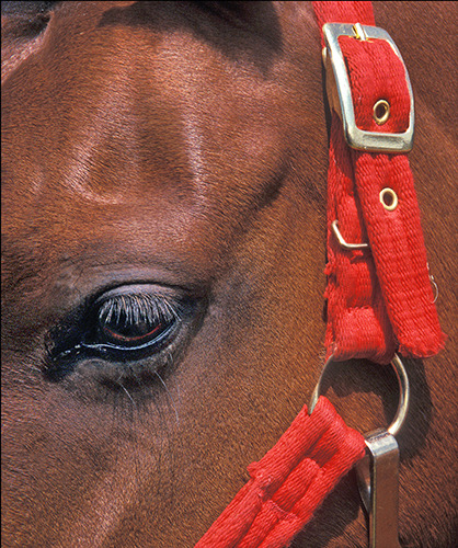 Red Bridle