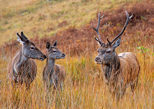 Stag with Hinds