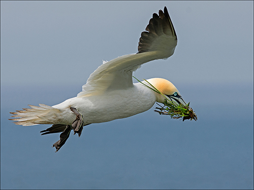 Gannet - For the nest