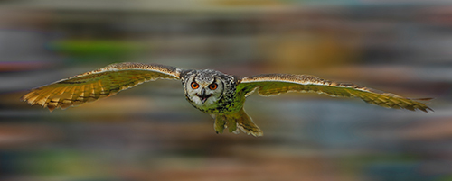Eagle Owl - Flying low