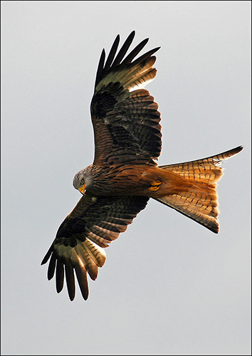Red Kite - Watching