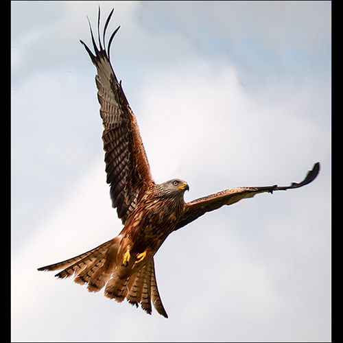 Red Kite - Soaring