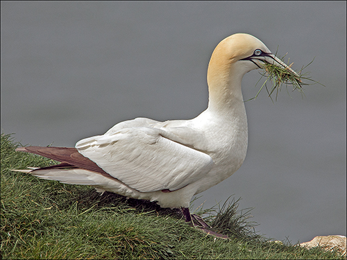 Gannet collecting grass