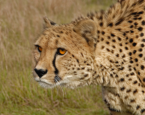 Cheetah - Start of the chase