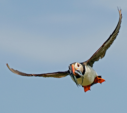 Puffin bringing back Sandeels
