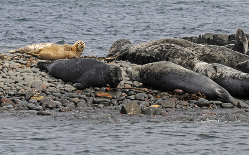 Grey Seals basking